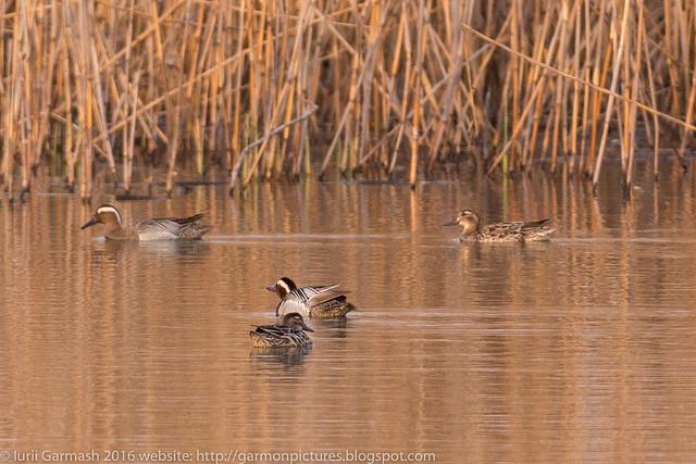 Garganey ducks