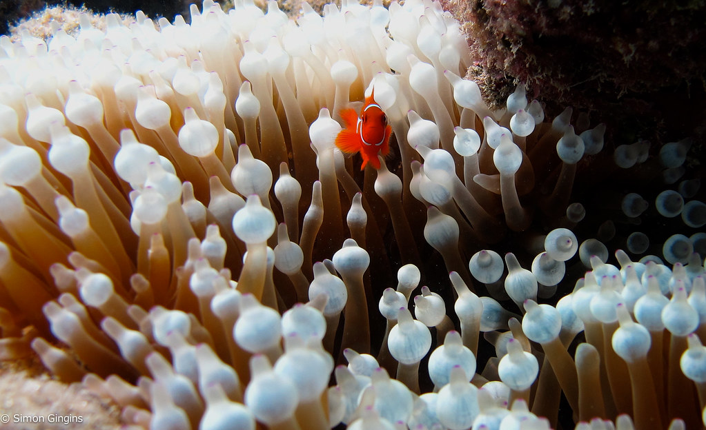Clownfish (Premnas biaculeatus) - Great Barrier Reef - Australia