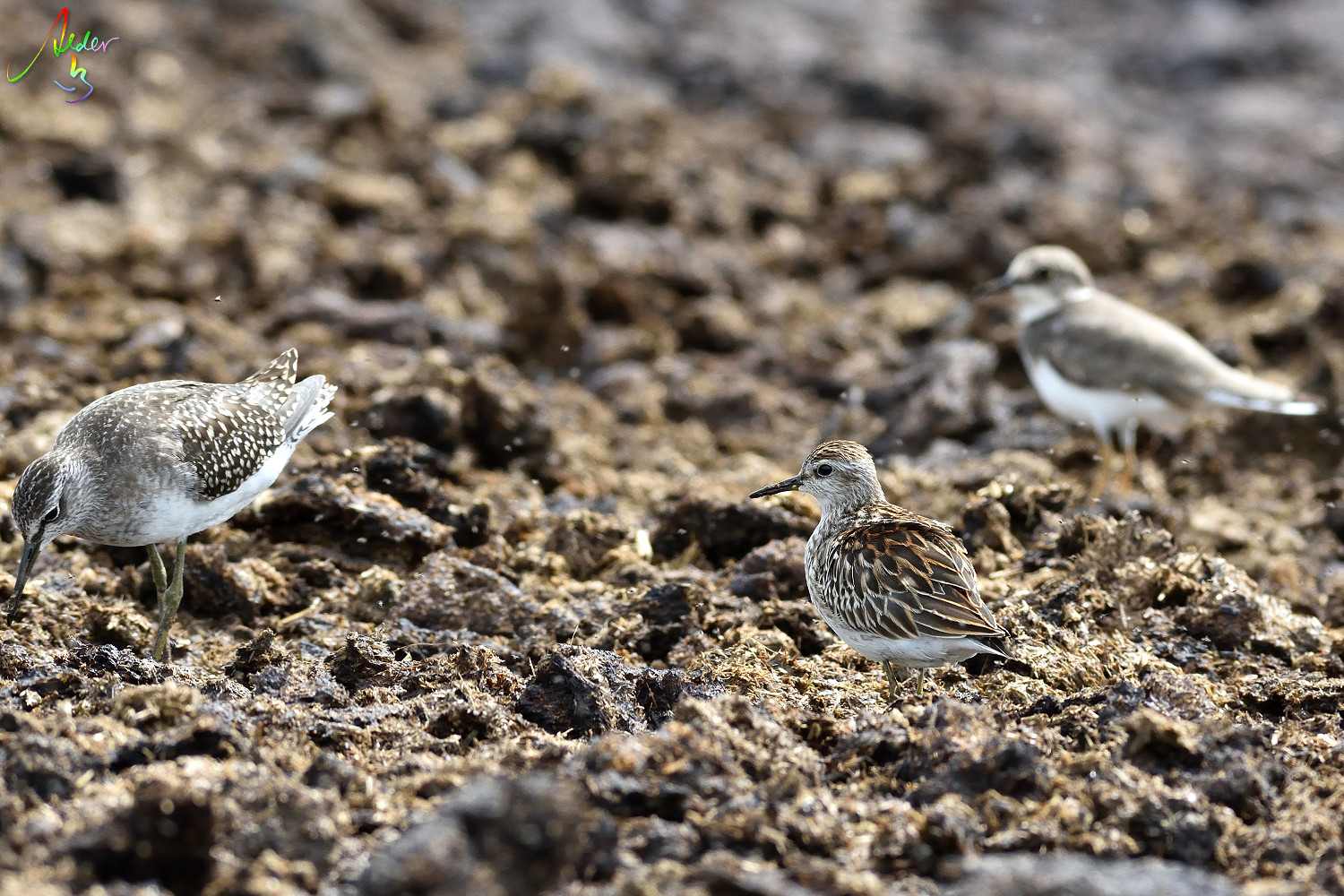 Long-toed_Stint_8243