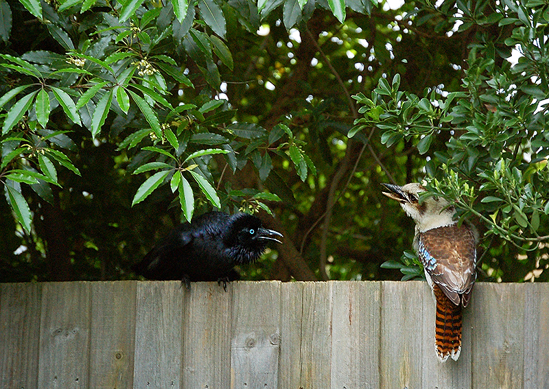 _kookaburra_&_raven_2_2_