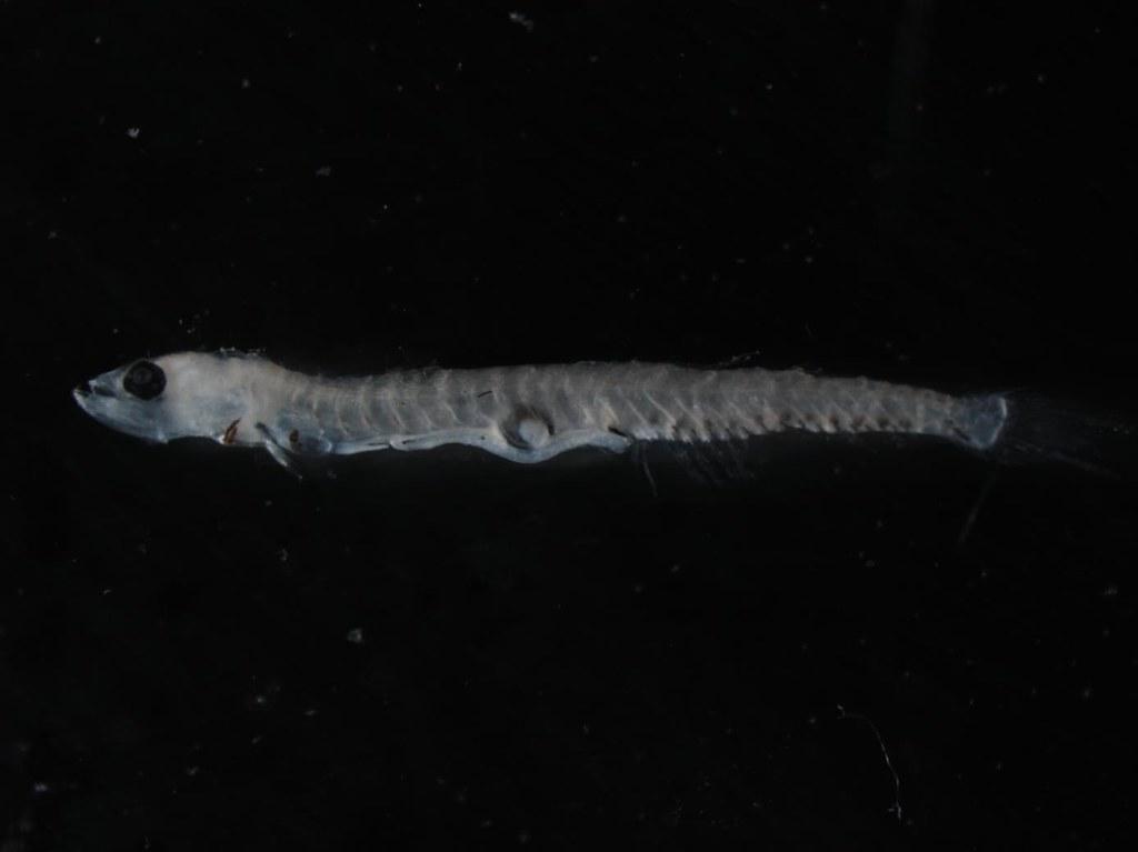 larval Bristlemouth,7.2mm SL