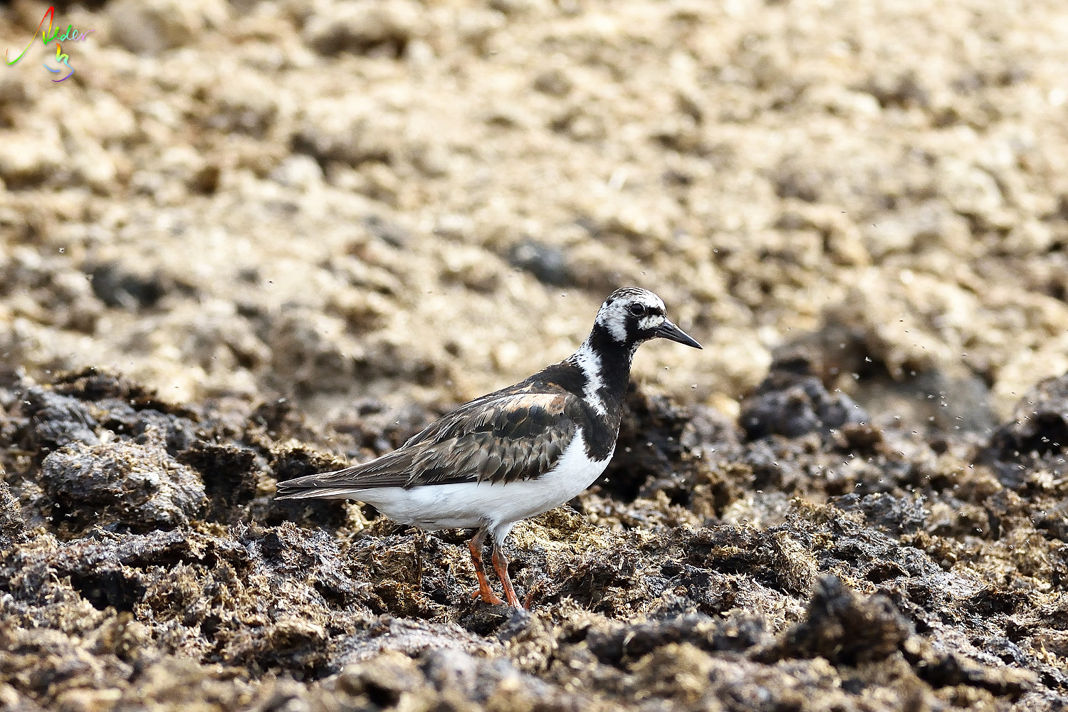 Ruddy_Turnstone_8222