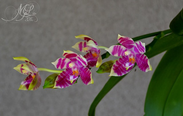 Phalaenopsis Gersenii 28667446891_634a657148_z