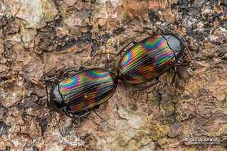 Darkling beetles (Ceropria sp.) - DSC_9689