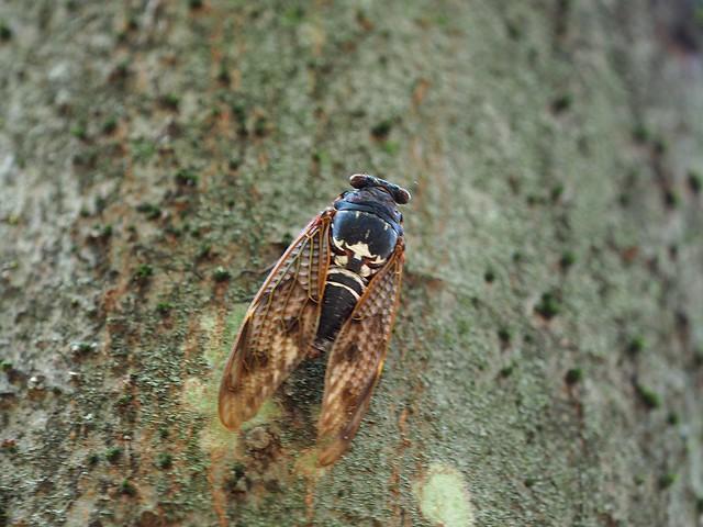 Cicada (セミ)