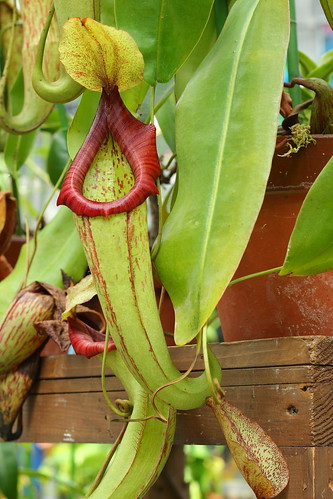 Nepenthes cv. Mixta