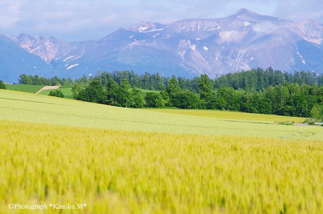 十勝岳と麦畑①