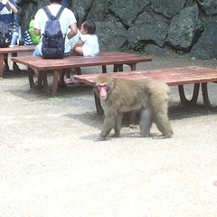 wild monkey looking for unattended bento...don't feed them, there is a 10,000 yen fine! #minoo #osaka #monkey #箕面 #大阪 #猿