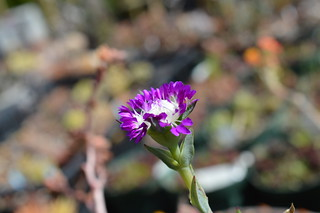 DSC_3044 Erepsia pillansii エレプシア ピランシイ 千歳菊