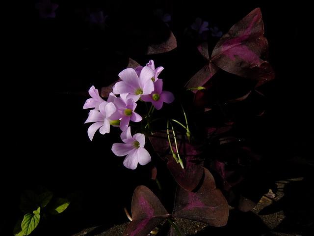 432 - wisteria2-kozo