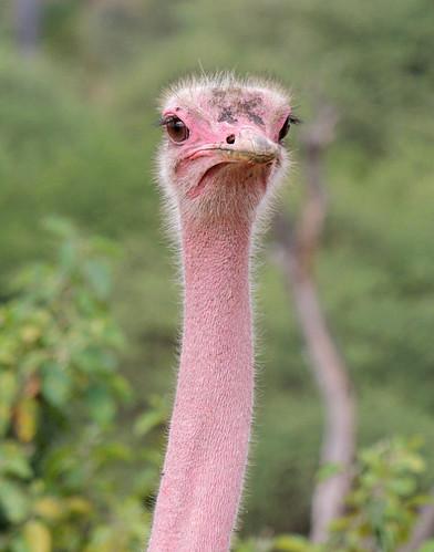 Tanzania Safari, Ostriches