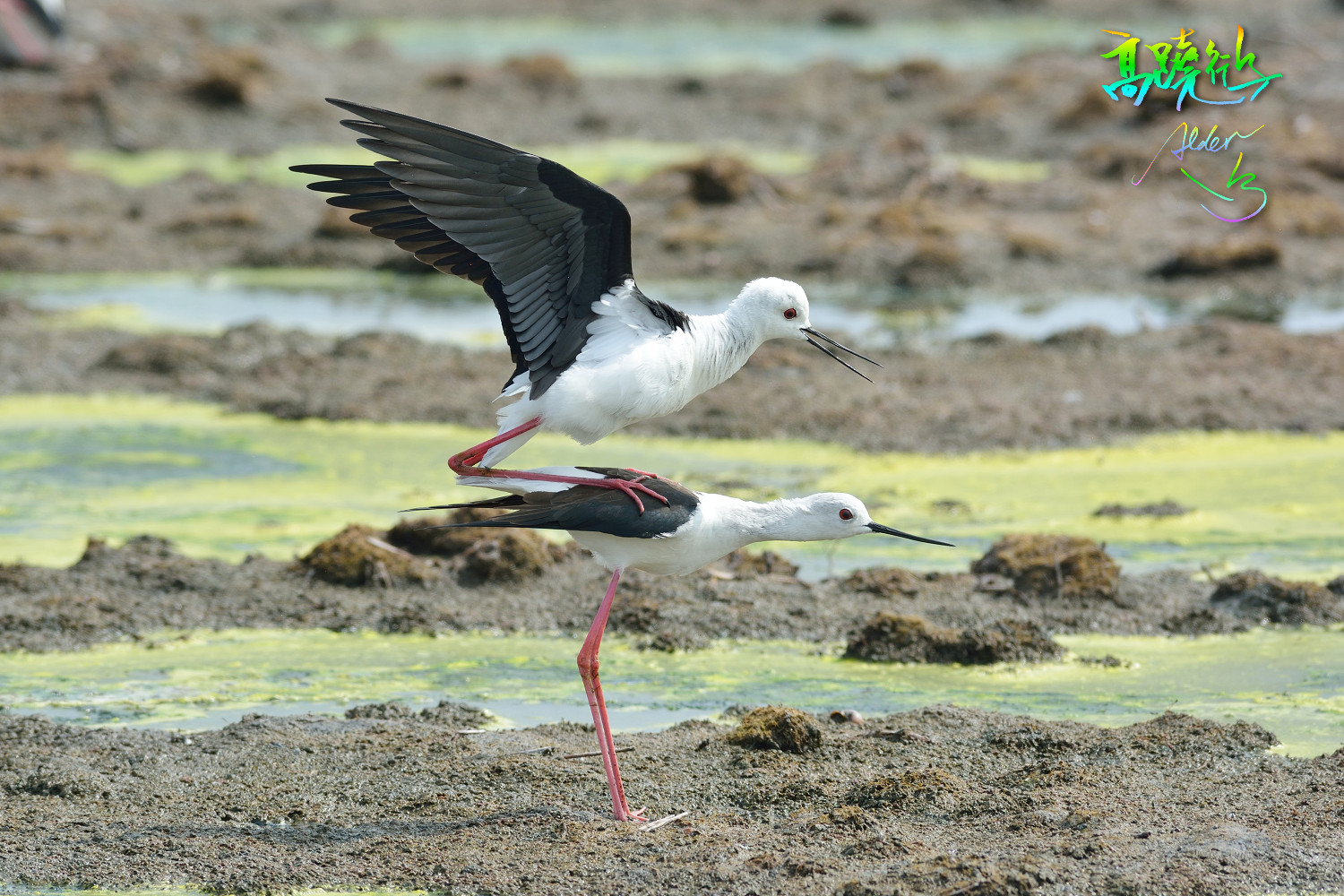Black-winged_Stilt_4872