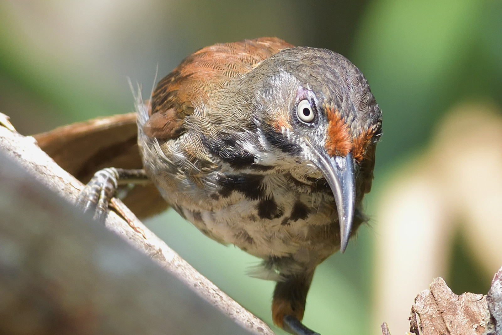 Rusty-cheeked_Scimitar_Babbler_4819_O