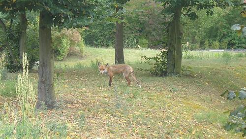 Fuchs auf dem Campus Lankwitz
