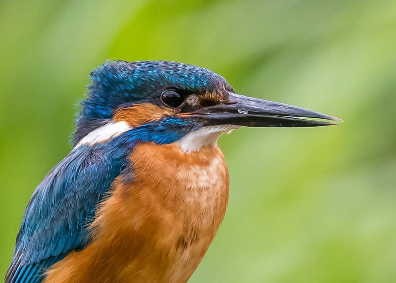 Male Kingfisher 051 (1787)