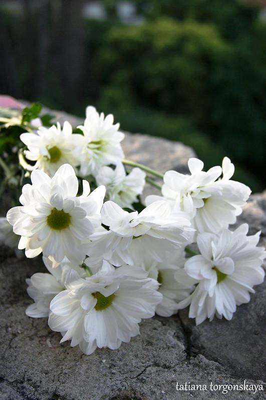 Украшение праздника и подарок женщинам - хризантема
