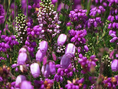 Tres tipos de brezo- 1-desenfocado con flores grandes Daboecia cantábrica 2-con grupos en la punta  Erica cinérea  3-con forma de cono y bolitas        Erica vagans