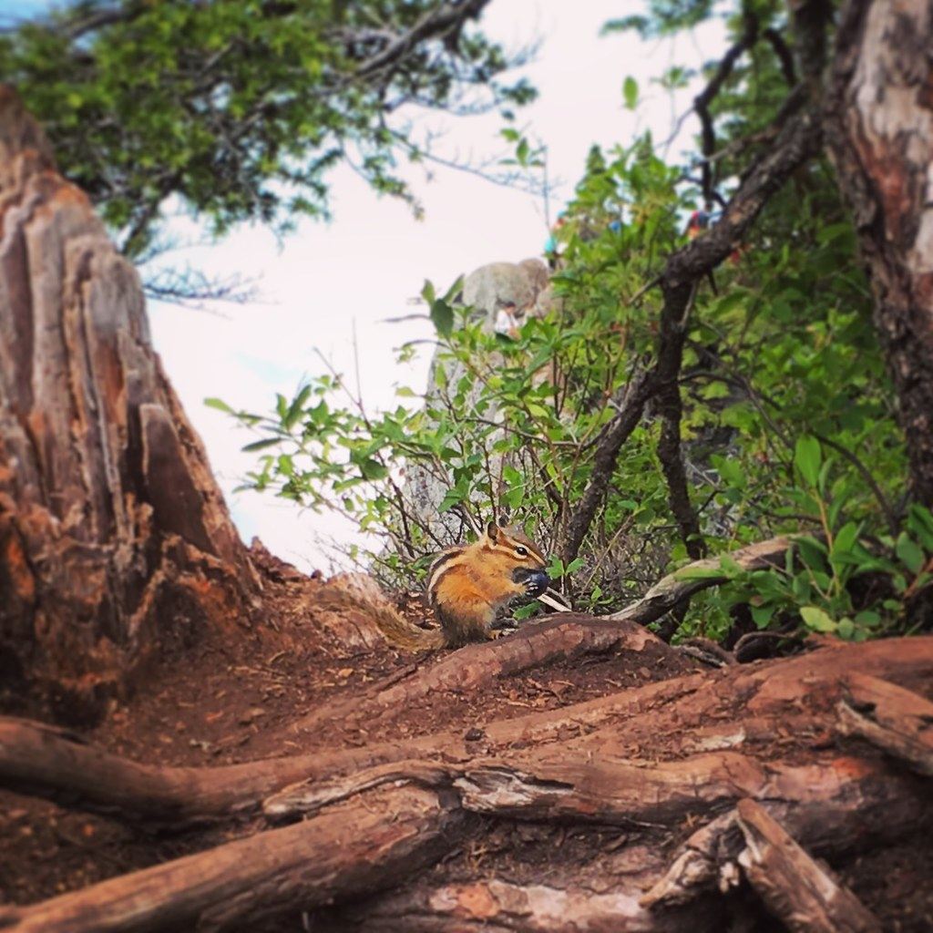 Chipmunk eating a berry