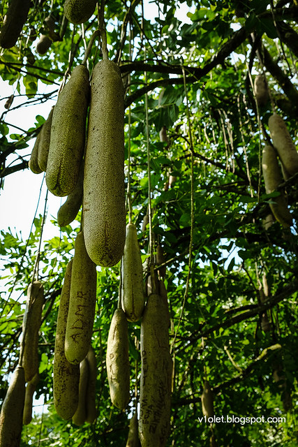 Kigelia Sausage Tree5-0321rw