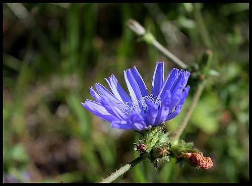 Cichorium intibus (7)
