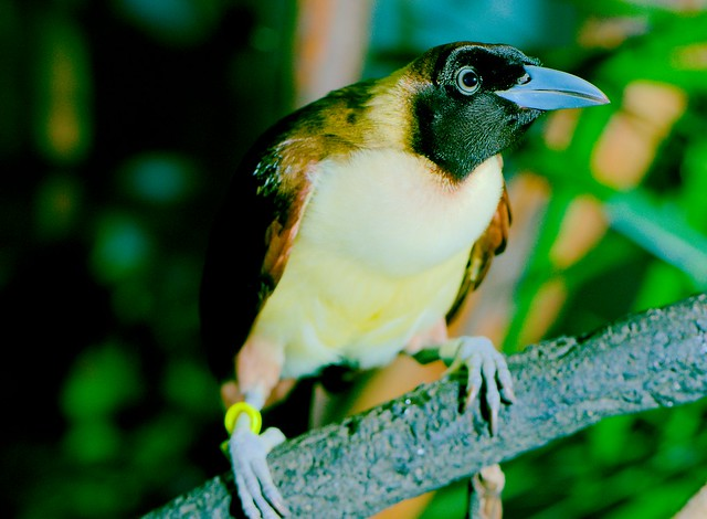 Lesser Bird of Paradise (Paradisaea minor)_1