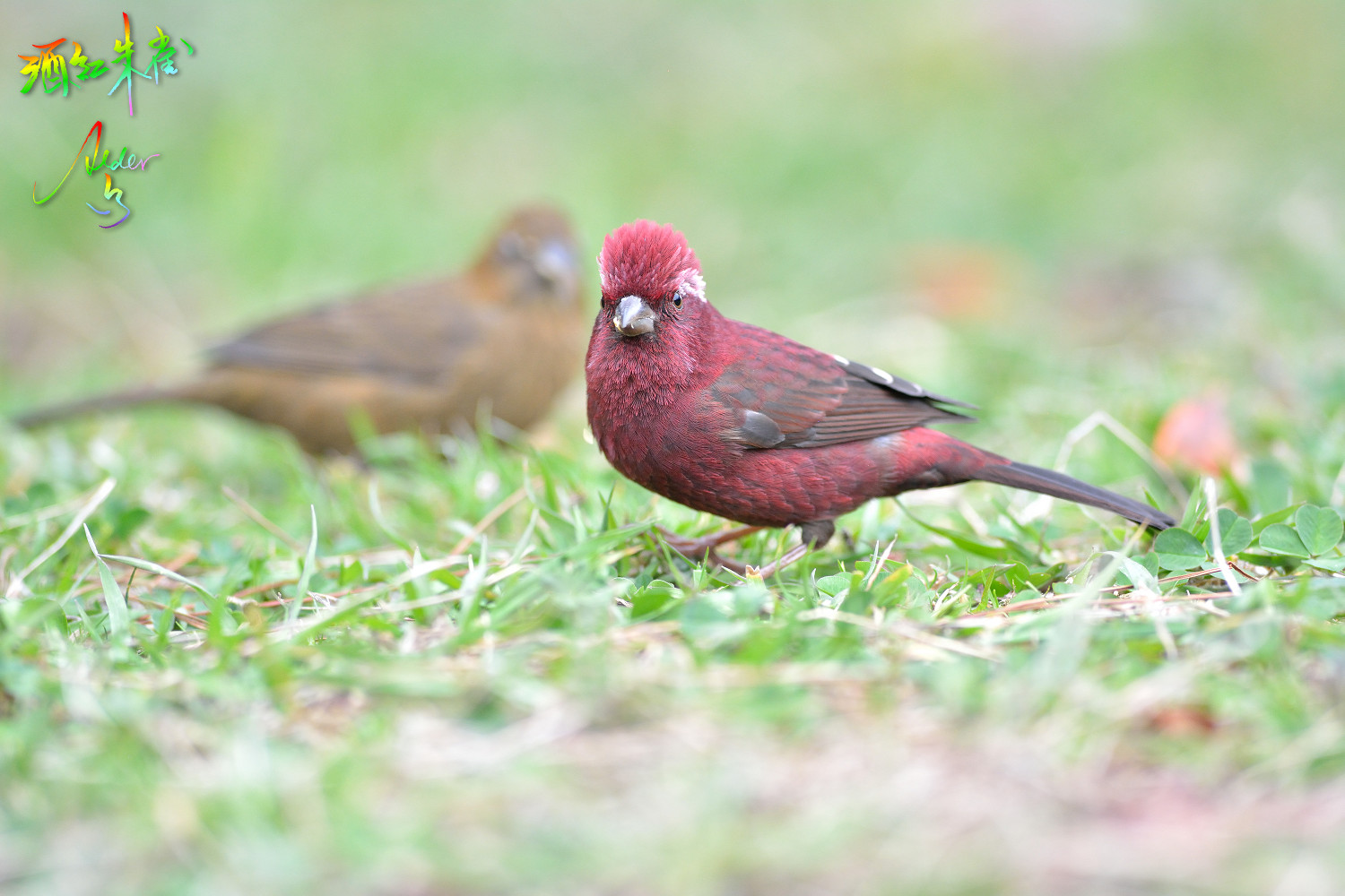 Vinacceus_Rose_Finch_7191