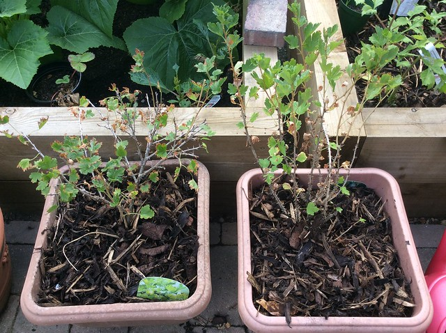 Gooseberries - Hinnomaki Yellow (L) and Red (L)