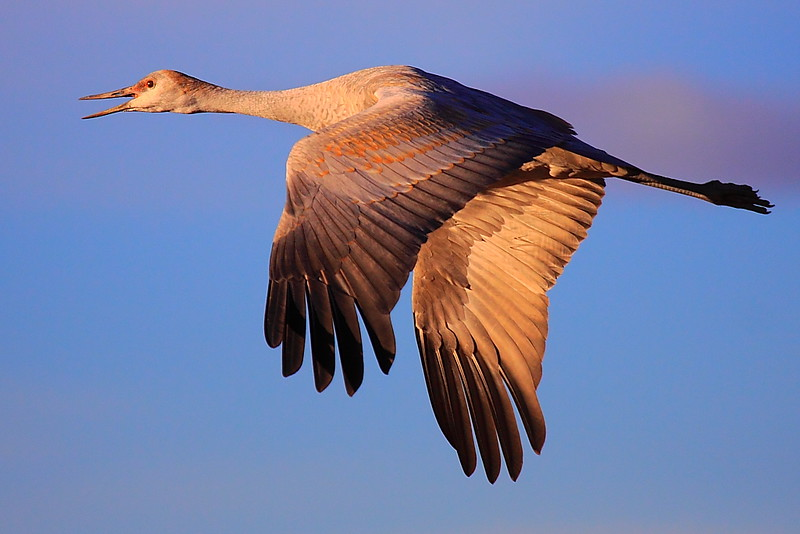 IMG_6382 Sandhill Crane