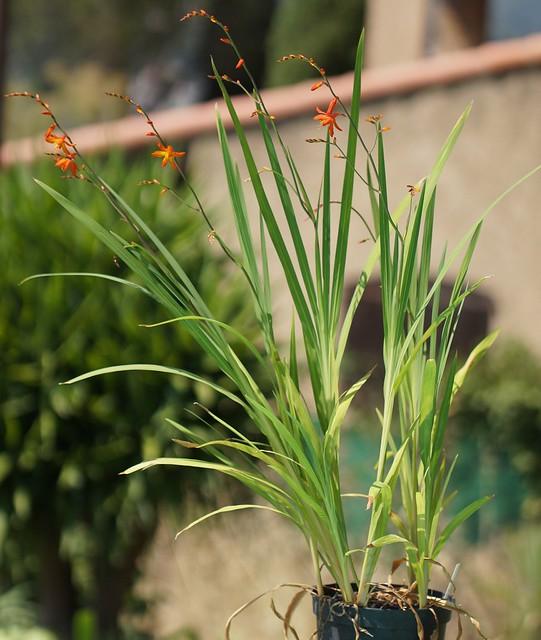 Crocosmia × crocosmiiflora 28290729875_cf76fab02a_z