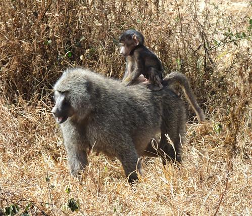 Tanzania Safari, Baboons