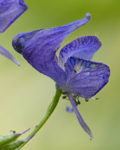 Western Monkshood