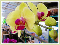 Pretty Yellow Phalaenopsis Orchid seen at a garden nursery, 4th Feb. 2016
