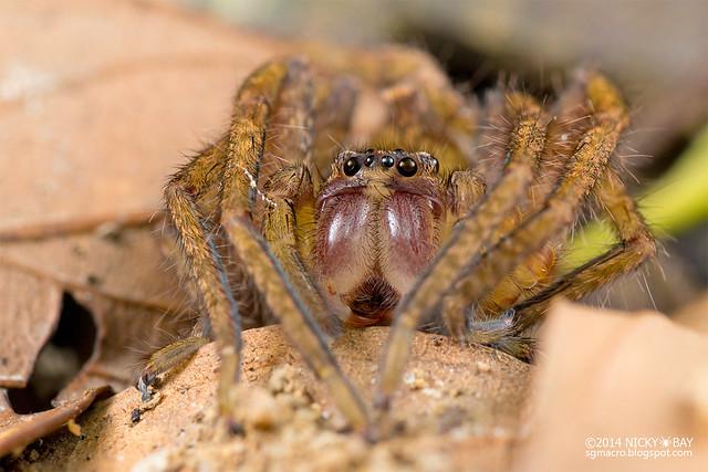 Huntsman spider (Sparassidae) - DSC_0434