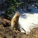 Glacier-Marmot