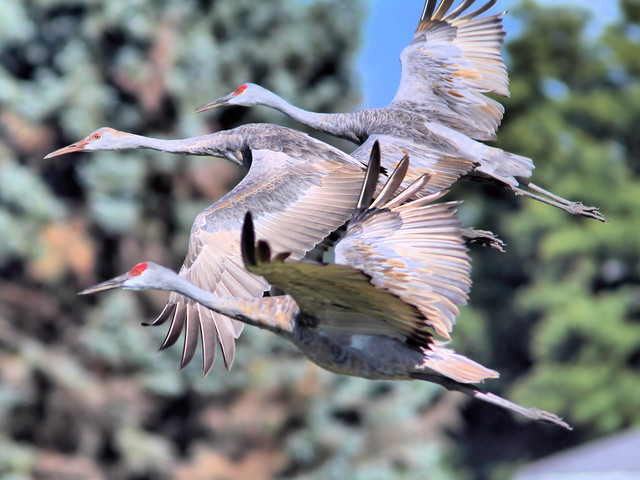 Sandhill Cranes in flight HDR 20160926
