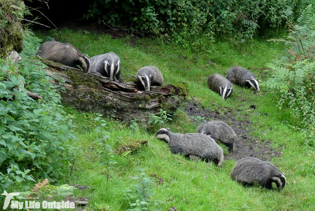 P1030881_2 - Dinefwr Badgers