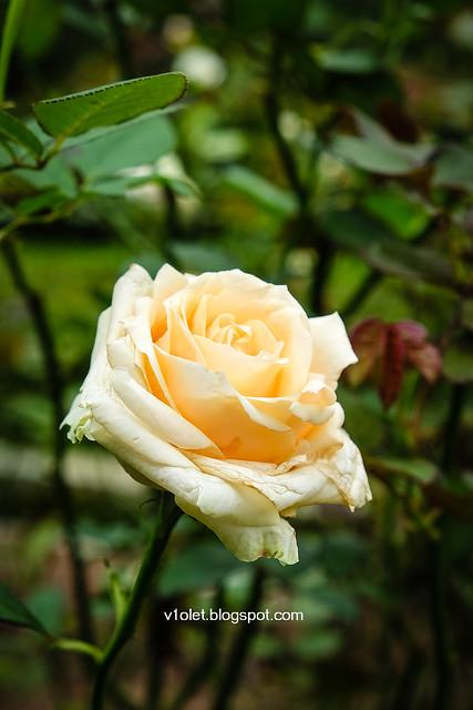 Roses2-0217rw