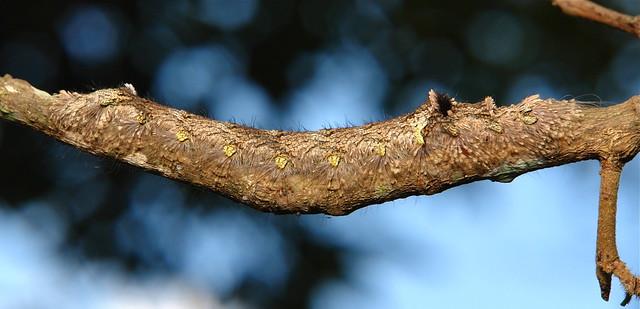 Lasiocampid Moth Caterpillar (Lasiocampidae)