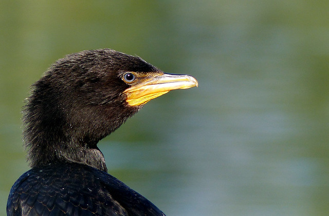 Black Shag NZ