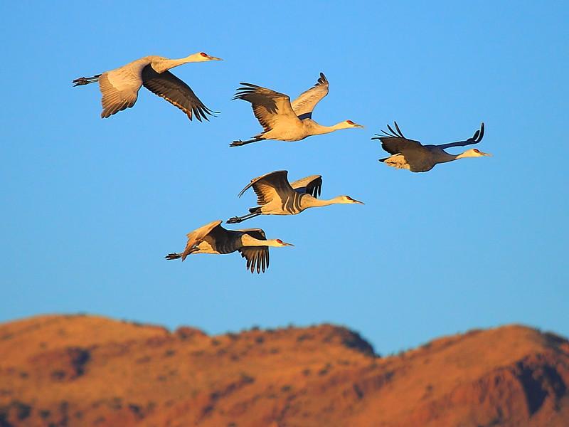 IMG_7338 Sandhill Crane, Bosque del Apache National Wildlife Refuge