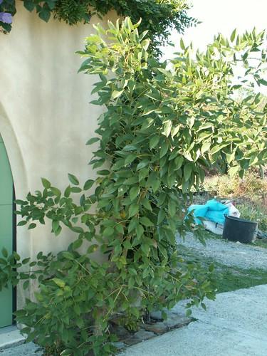 Erythrina crista-galli -PICT6777