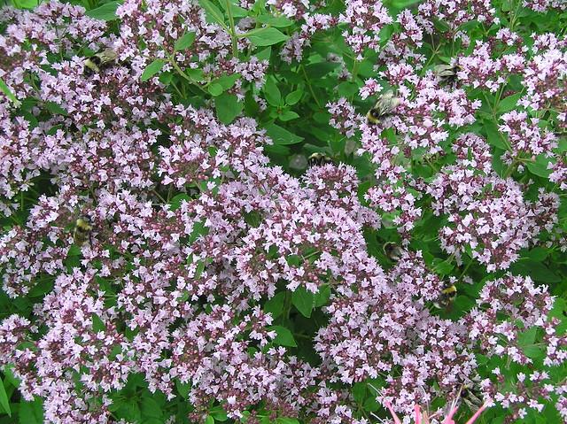 Oreganum vulgare & bumblebees