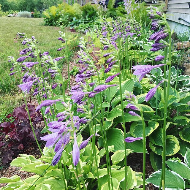 Hostas are blooming!