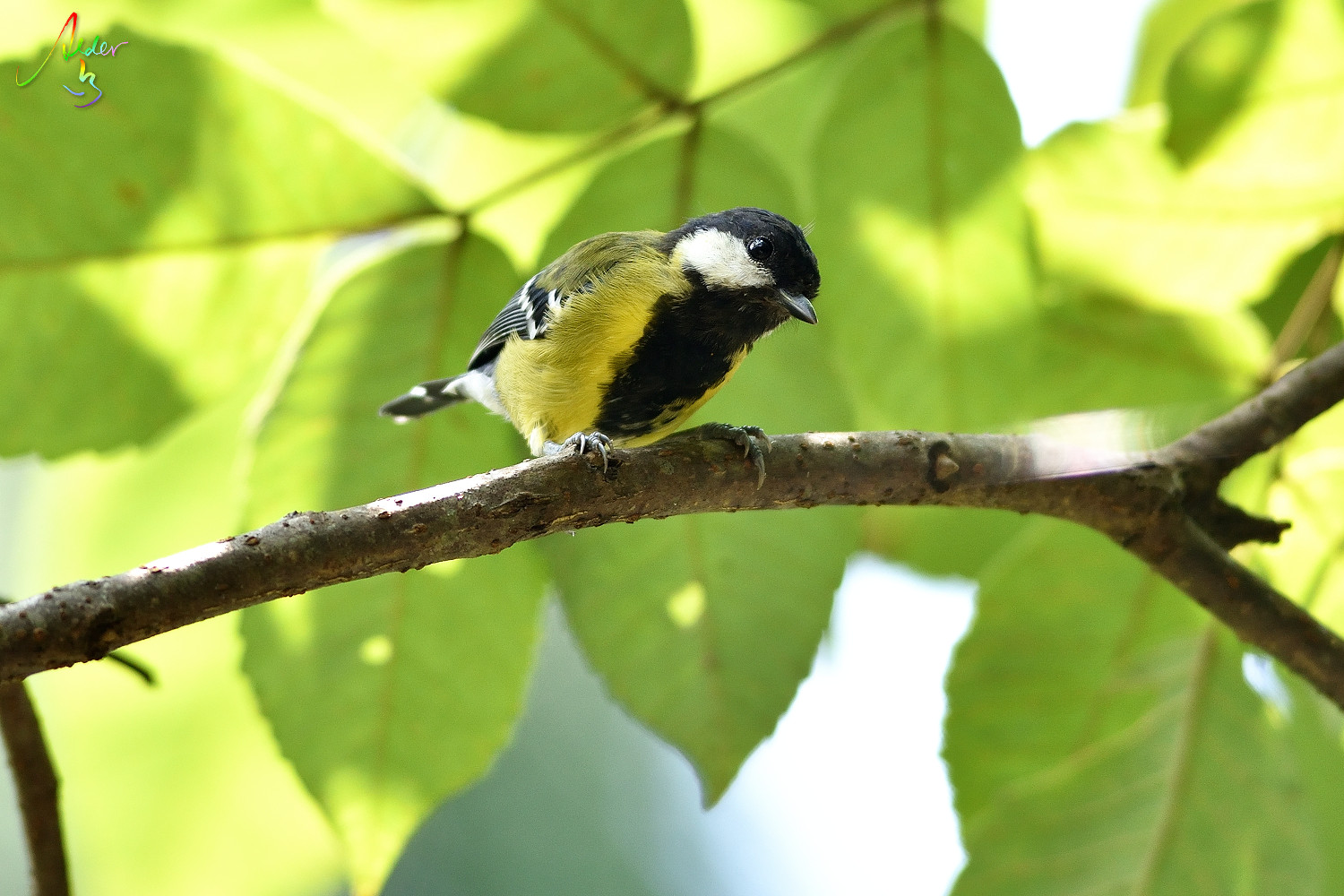 Green-backed_Tit_7517
