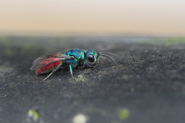 Ruby-tailed Wasp