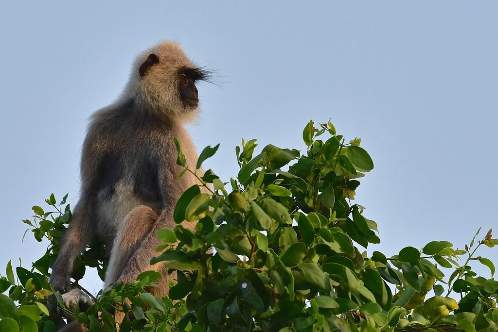 Grey Langur - Sri-Lanka