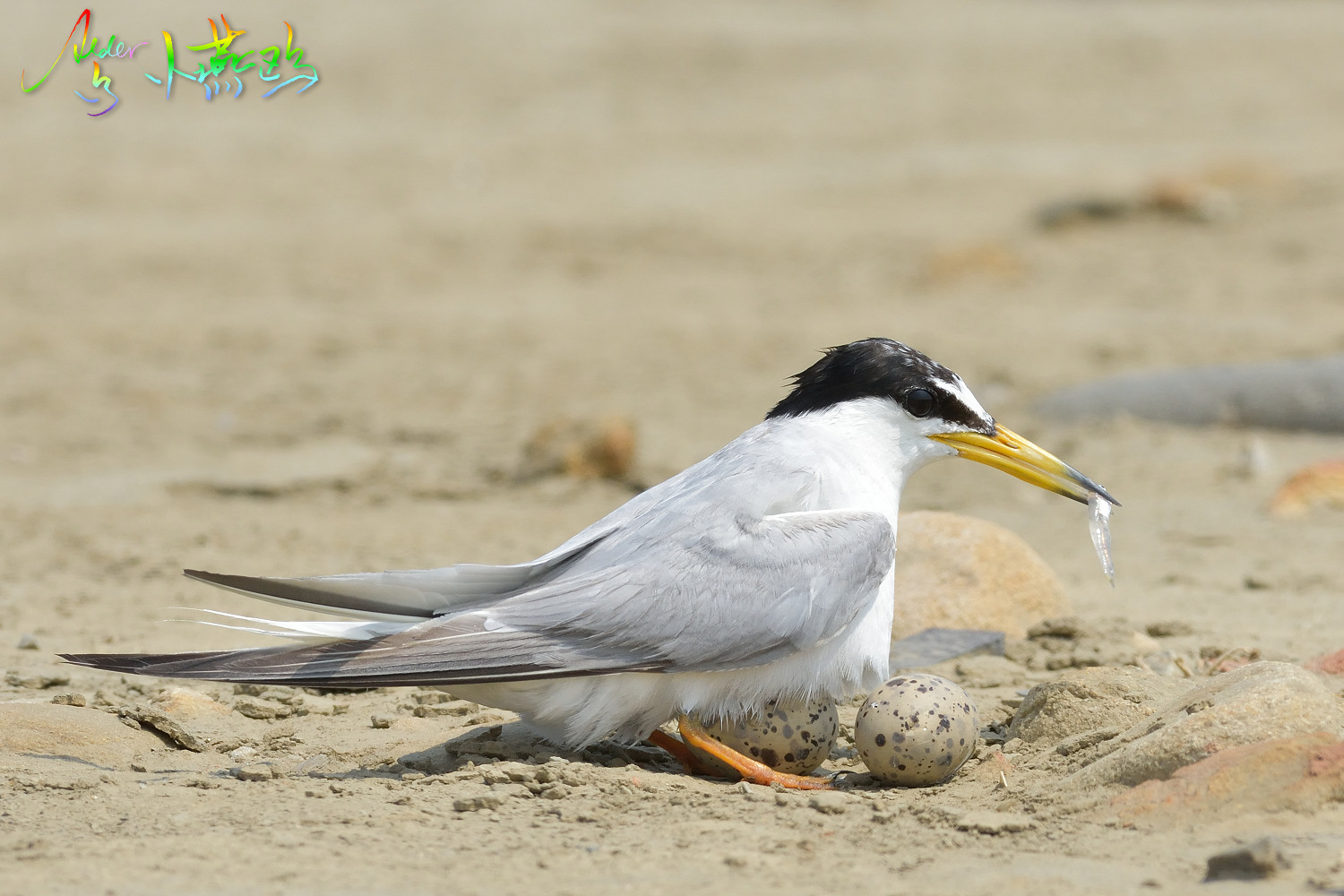 Little_Tern_4772