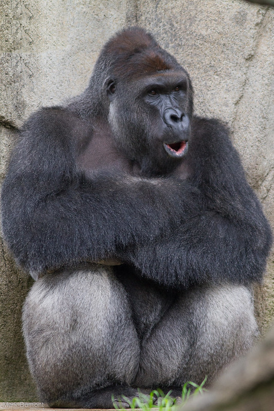 2b01774861e1 Why Was the Gorilla Harambe Killed at the Cincinnati Zoo