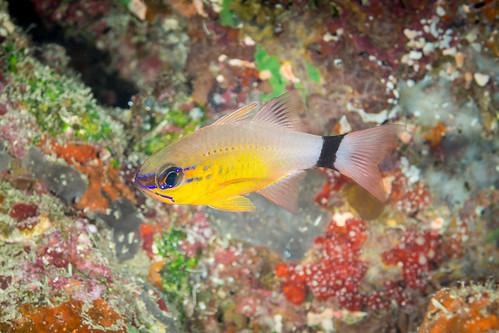 Ring-tailed cardinalfish (Ostorhinchus aureus)