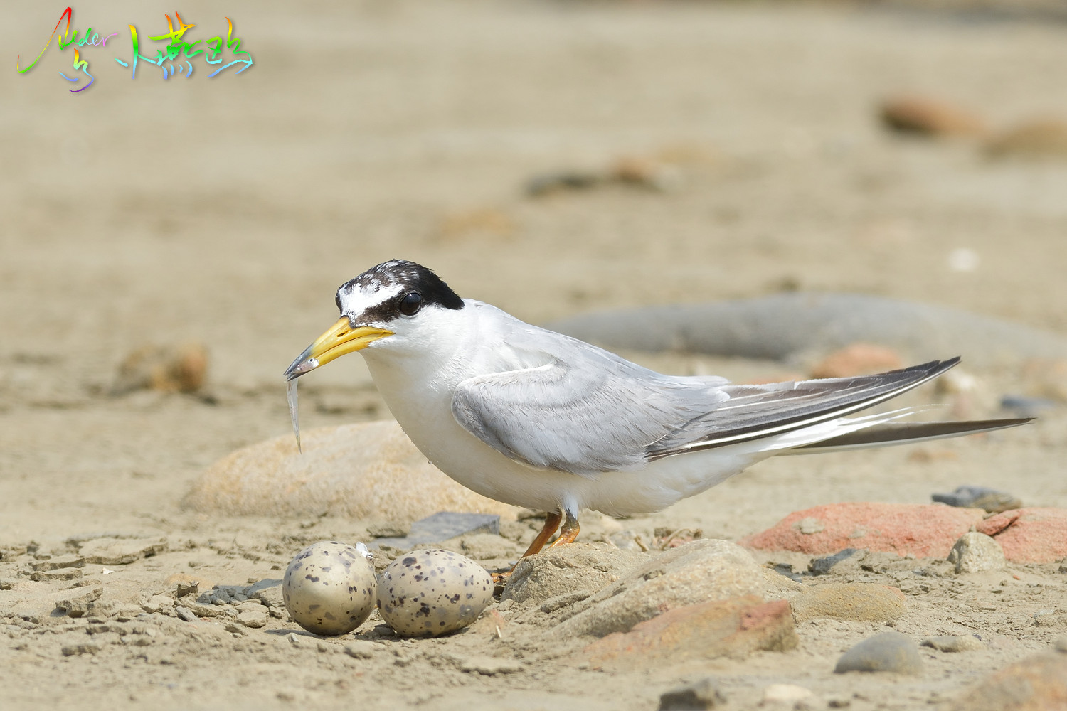 Little_Tern_4751